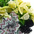 poinsettia_white_planter_step15-500px-02