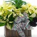 poinsettia_white_planter_step15-500px-03