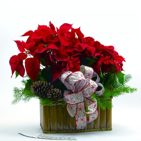 red_poinsettia-500ox
